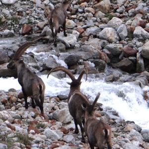 Ibex group