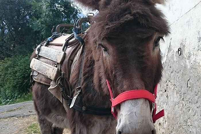 mountain donkey