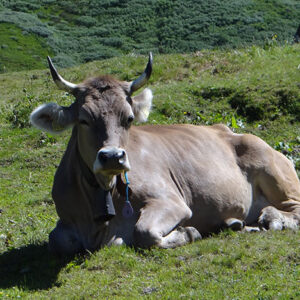 mt blanc self guided local cow